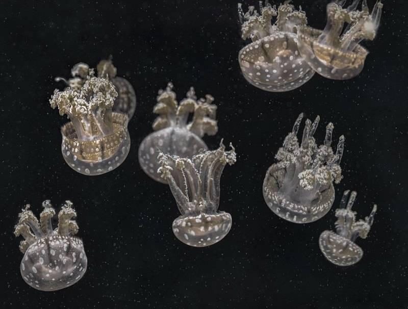 Медузы вверх ногами