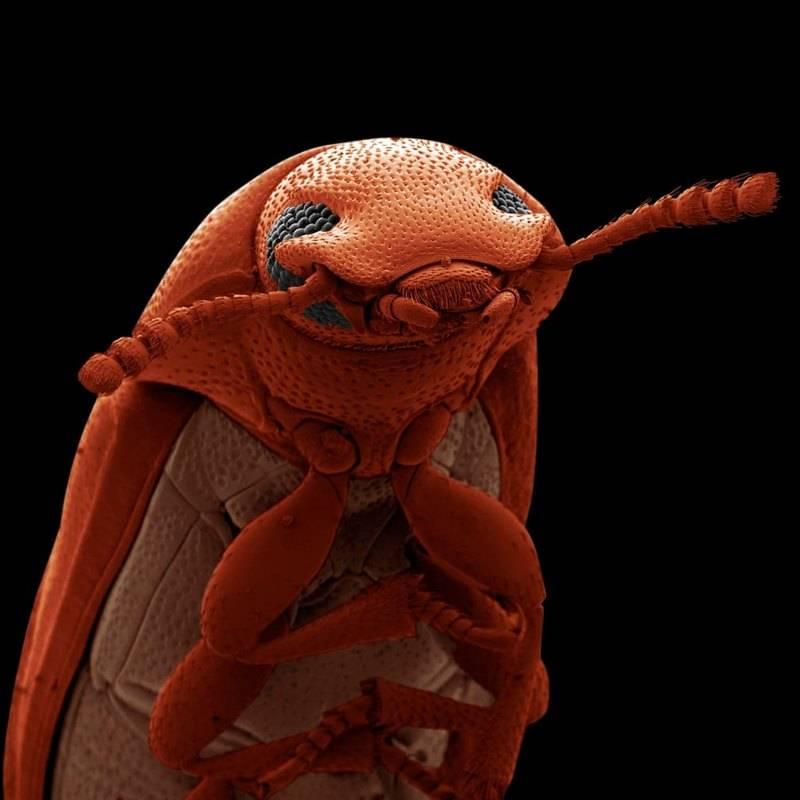 Смущенный мучной жук