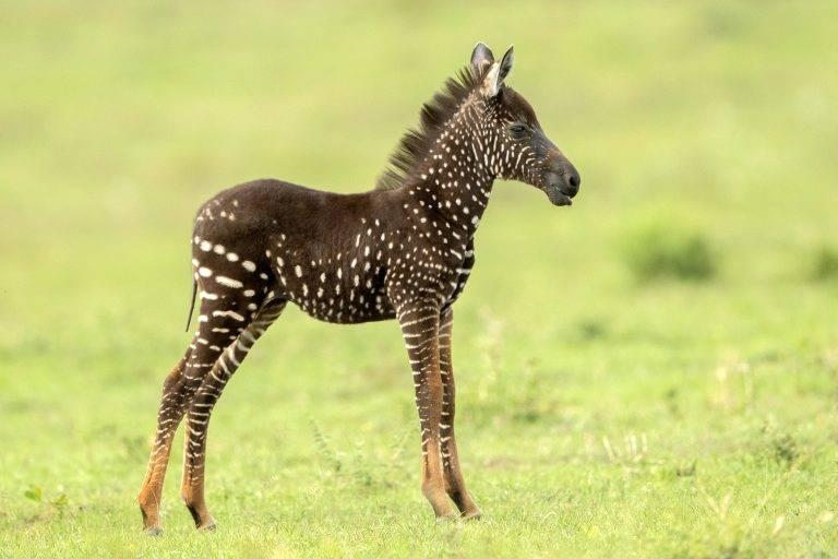 Уникальный зебрёнок в крапинку родился в Кении