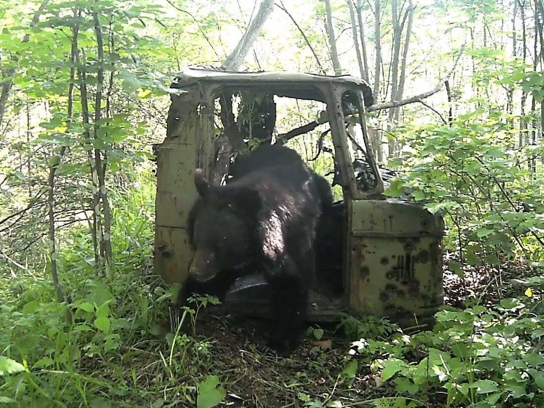 В Приморье сняли на видео медведей, тигра и бурундука в кабине грузовика